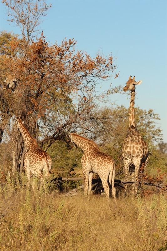 Baby giraffes can also be hunted down by predators, even though their parents stand 15-16 feet tall!