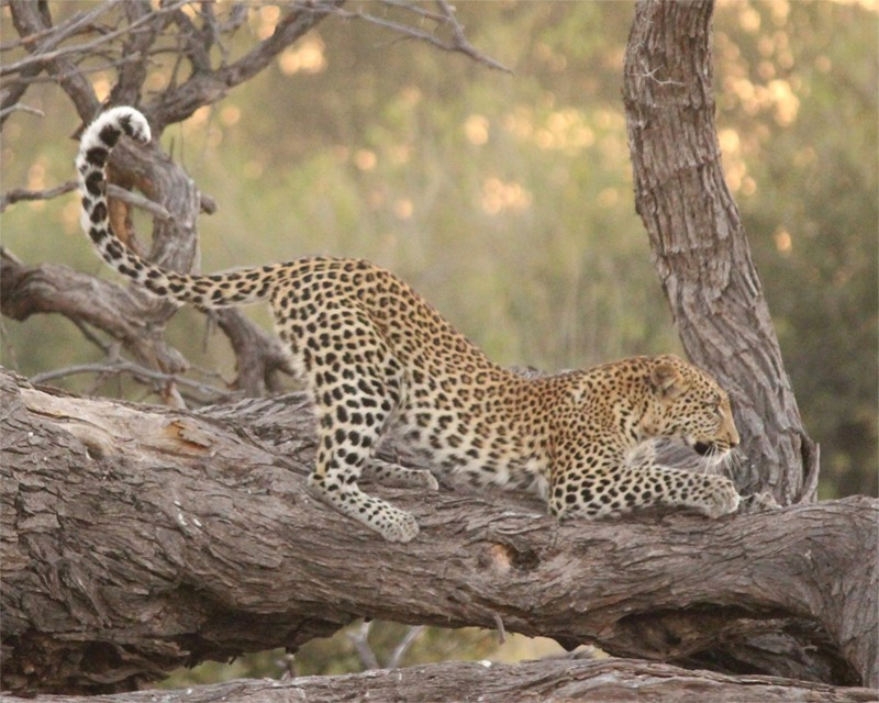 Leopards get up from their naps like any old puddy tat- but there the resemblance ends!