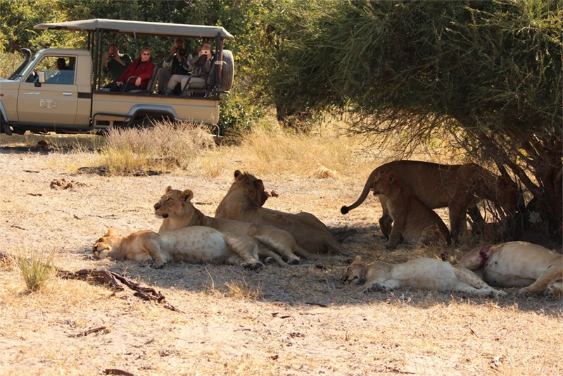 Half our group in their Jeep, gazing at a pride of resting lions whose bellies are at the bursting point. They have just finished eating an eland- a good size antelope- and won't have to eat for another week or so.
