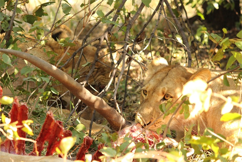 Here is a lioness in the bush, snacking on rib of said eland. A minute later she licks her chops, gets up and takes a stretch, then saunters over to the rest of the pride to sleep off her meal in the equivalent of a big puppy pile.
