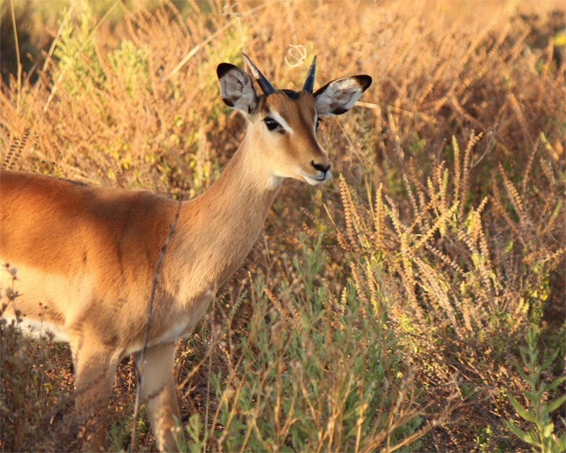 What a sweet face this impala has!