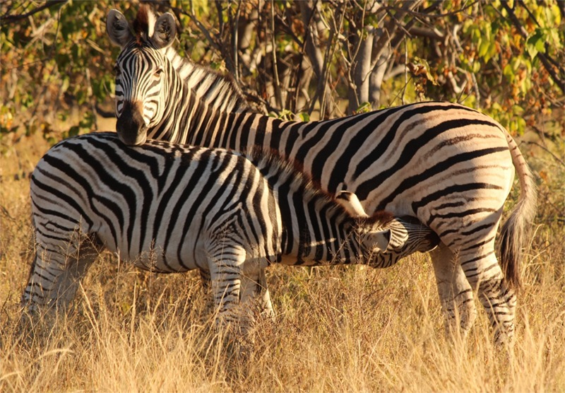 Here is an older zebra colt still nursing although he's almost the size of mom!