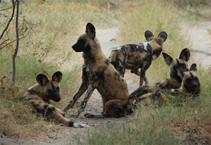 Wild dogs, often called painted dogs, are the most fearsome predators of all. They hunt in packs and are absolutely fearless and efficient. We watched them hunt down an impala.